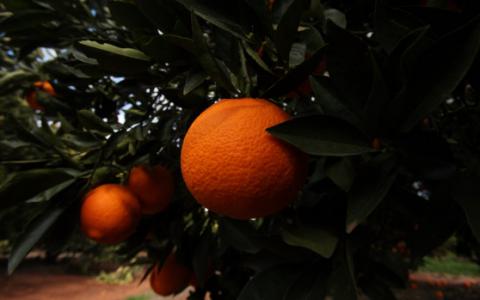 西蒙内塔家族抢购河套地区的柑橘果园